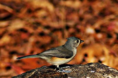 Photograph - Tufted Titmouse by Joe Faherty