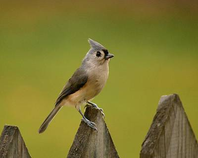 Tufted Titmouse Art Print by Judy Genovese