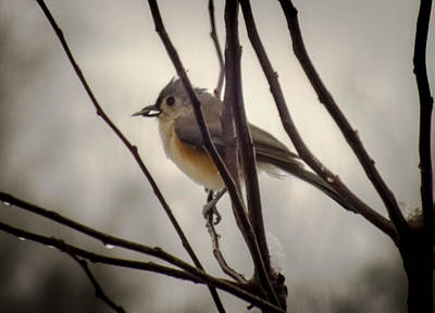 Tufted Titmouse Photograph - Tufted Titmouse by Karen Wiles