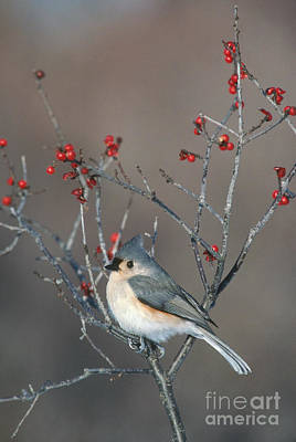 Parus Bicolor Photograph - Tufted Titmouse by Larry West