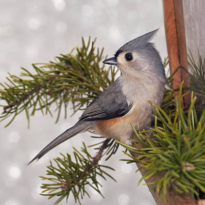 Photograph - Tufted Titmouse Looks Back by Leda Robertson