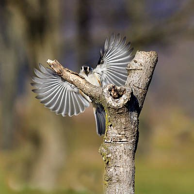 Photograph - Tufted Titmouse On Approach by David Lester