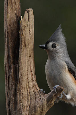 Photograph - Tufted Titmouse On Cedar Snag by Daniel Reed