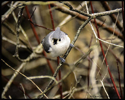 Titmouse Photograph - Tufted Titmouse On The Watch by LeeAnn McLaneGoetz McLaneGoetzStudioLLCcom