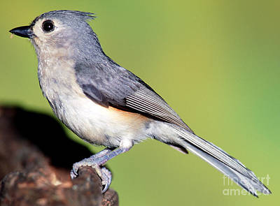 Parus Bicolor Photograph - Tufted Titmouse Parus Bicolor by Millard H. Sharp
