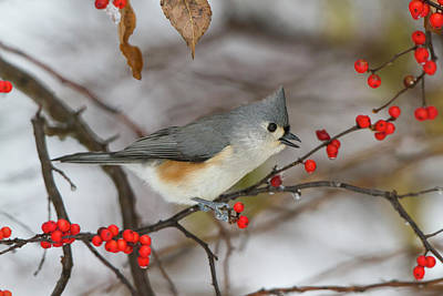 Titmouse Photograph - Tufted Titmouse (parus Bicolor by Richard and Susan Day
