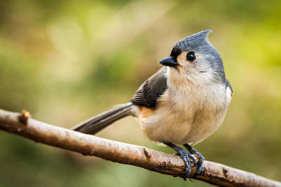 Tufted Titmouse Perched On A Branch Original