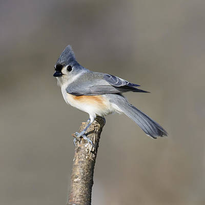 Photograph - Tufted Titmouse Posing Pretty by David Lester