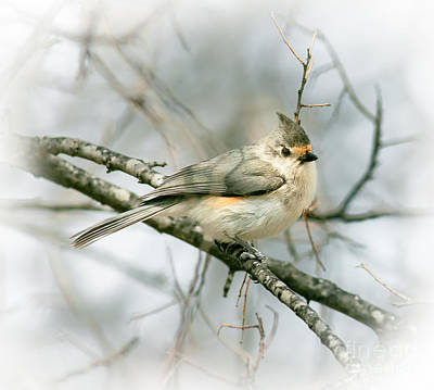 Tufted Titmouse Photograph - Tufted Titmouse by Robert Frederick