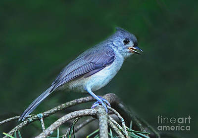 Photograph - Tufted Titmouse by Rodney Campbell
