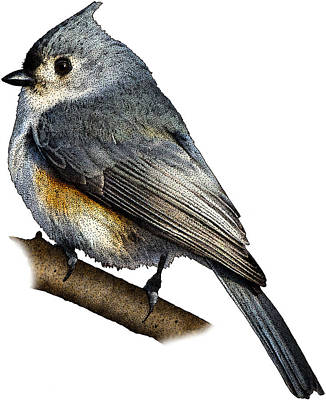 Tufted Titmouse Photograph - Tufted Titmouse by Roger Hall