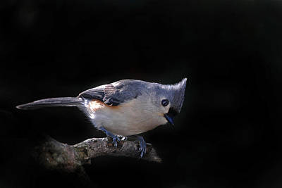 Tufted Titmouse Photograph - Tufted Titmouse by Skip Willits
