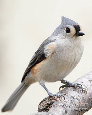 Photograph - Tufted Titmouse by Steve Javorsky