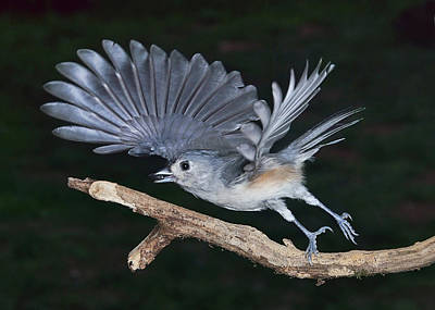 Tufted Titmouse Take-off Art Print