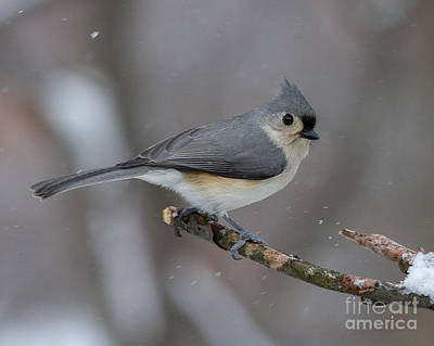 Tufted Titmouse Photograph - Tufted Titmouse by Todd Bielby