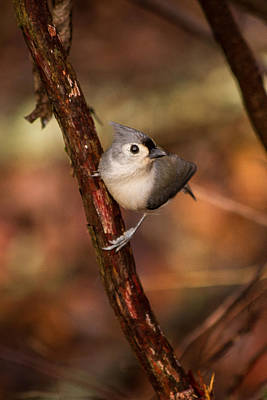 Tufted Titmouse Photograph - Tufted Titmouse Winter 2012 by Nathaniel Kidd