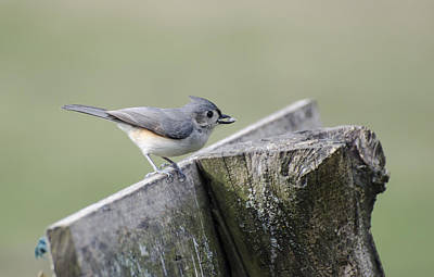 Photograph - Tufted Titmouse With Seed by Heather Applegate