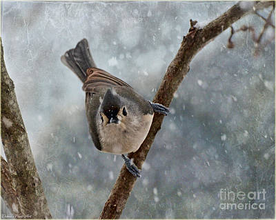 Tufted Titmouse Photograph - Tufted Titmouse With Snow by Debbie Portwood