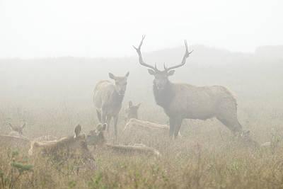 Tule Elk Bull And Harem In Fog Point Art Print
