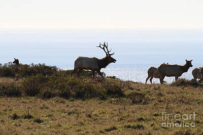Tules Elks Of Tomales Bay California - 7d21230 Art Print by Wingsdomain Art and Photography