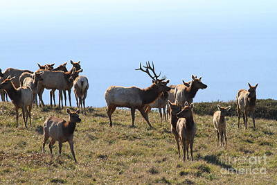 Tule Elks Photograph - Tules Elks Of Tomales Bay California - 7d21236 by Wingsdomain Art and Photography