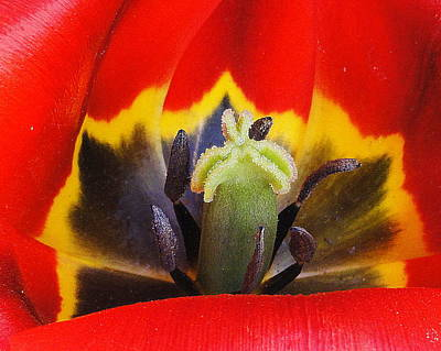 Photograph - Tulip 2 by Mary Beth Landis