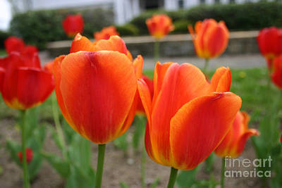 Photograph - Tulip Collection Photo 2 by Rusty Green