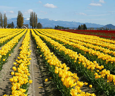 Photograph - Tulip 25 by Cheryl Boyer