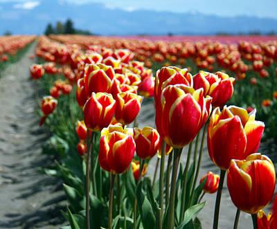 Photograph - Tulip 28 by Cheryl Boyer