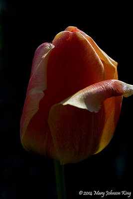 Mary King Photograph - Tulip 3 by Mary  King