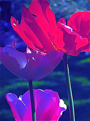 Art Print featuring the photograph Tulip 3 by Pamela Cooper