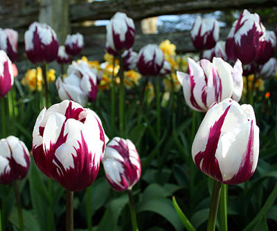 Photograph - Tulip 30 by Cheryl Boyer