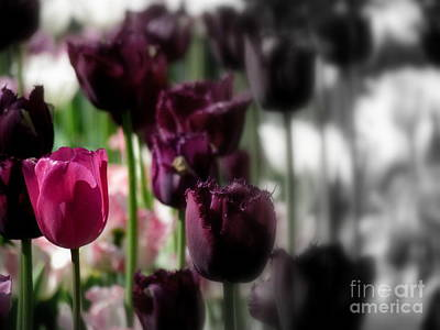 Photograph - Tulip 30 by France Laliberte