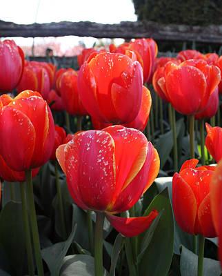 Photograph - Tulip 33 by Cheryl Boyer