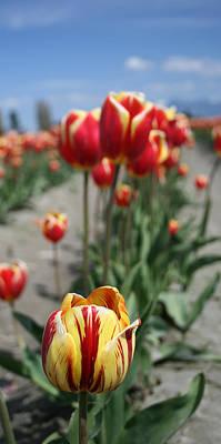 Photograph - Tulip 36 by Cheryl Boyer