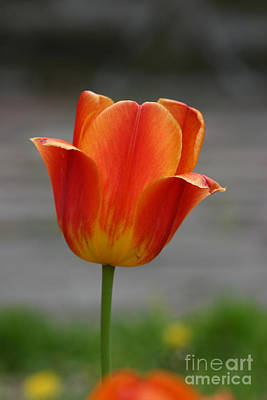 Photograph - Tulip Collection Photo 6 by Rusty Green