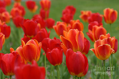 Tulip Collection Photo 7 Art Print