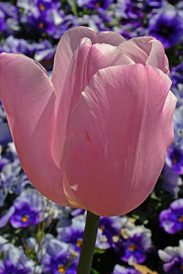 Tulip And Pansies Art Print by Larry Bishop