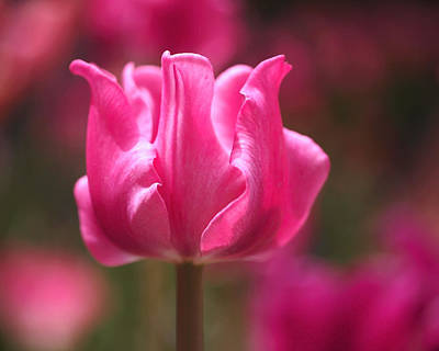 Fuchsia Photograph - Tulip At Attention by Rona Black