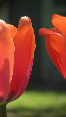 Photograph - Tulip Backlit 7 by Anita Burgermeister
