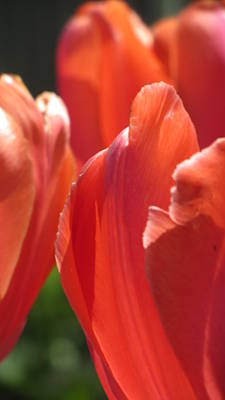 Photograph - Tulip Backlit 8 by Anita Burgermeister