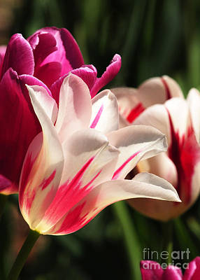 Photograph - Tulip Beauty by Olivia Hardwicke