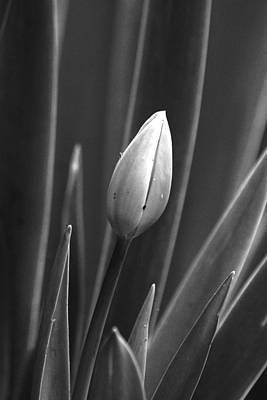 Photograph - Tulip Blossom Bw by Morgan Wright