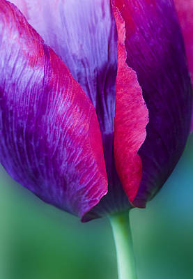 Photograph - Tulip Bright  by Diane Fifield