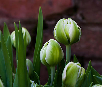 Tulip Buds Art Print