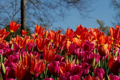Tulip Chatter Art Print