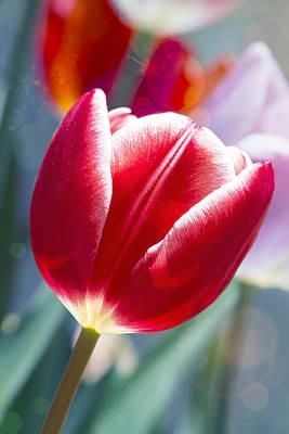 Tulip Daydream Art Print