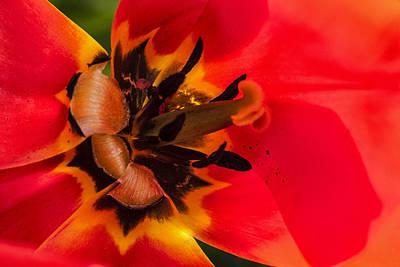 Stellar Interstellar - Tulip by Diana Powell