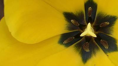 Amature Photograph - Tulip Explosion by Bruce Bley