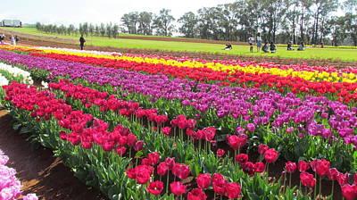 Photograph - Tulip Farm  by Joyce Woodhouse